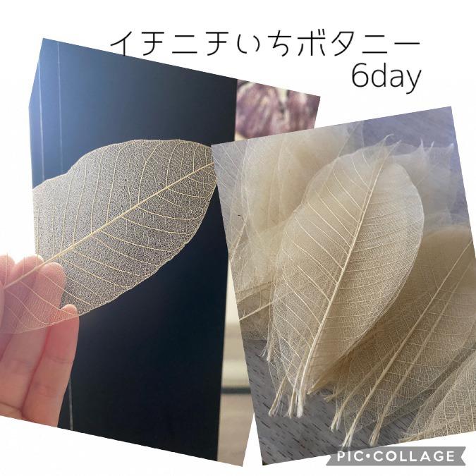 6day ゴムの木の葉